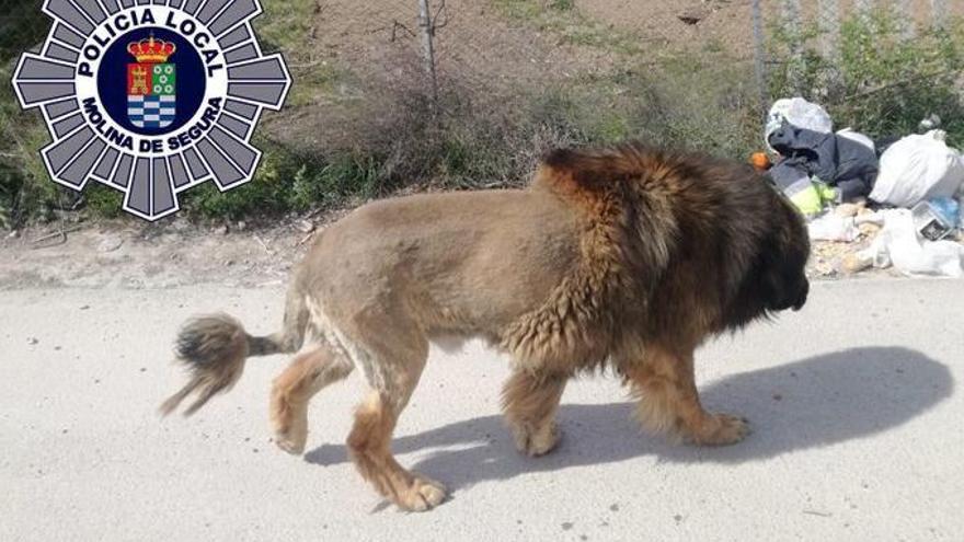 Veïns d'un poble de Múrcia alerten a la Policia després de confondre un gos amb un lleó