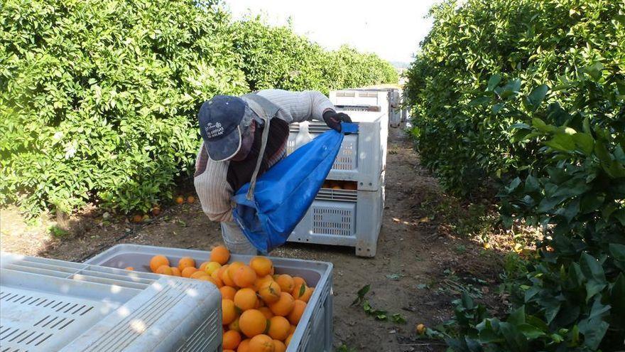 La naranja se encuentra ya al 80% de recolección