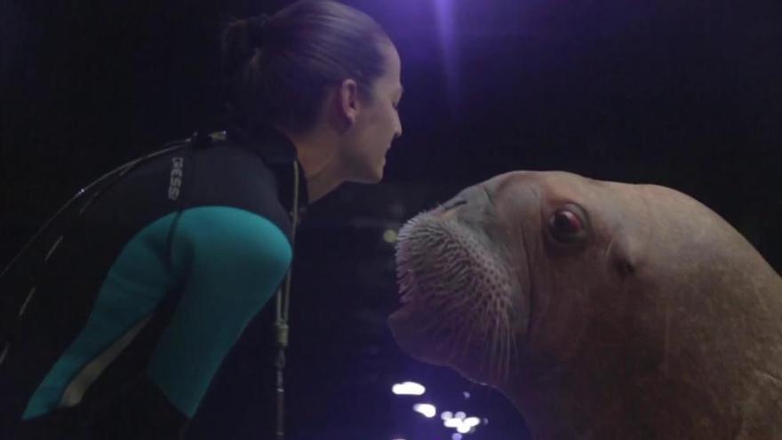 El Oceanogràfic despide a tres morsas que van rumbo a Alemania para ser mamás