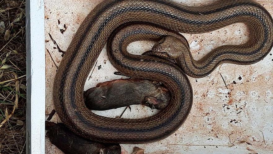 Una serpiente voraz cazada en Buscastell