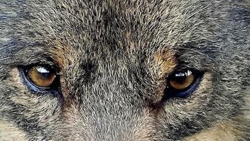 La vuelta del lobo, más cerca