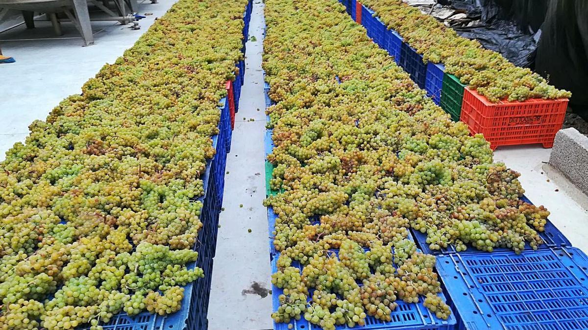 Racimos de uva preparados para la comercialización en una bodega isleña. | | E.D.