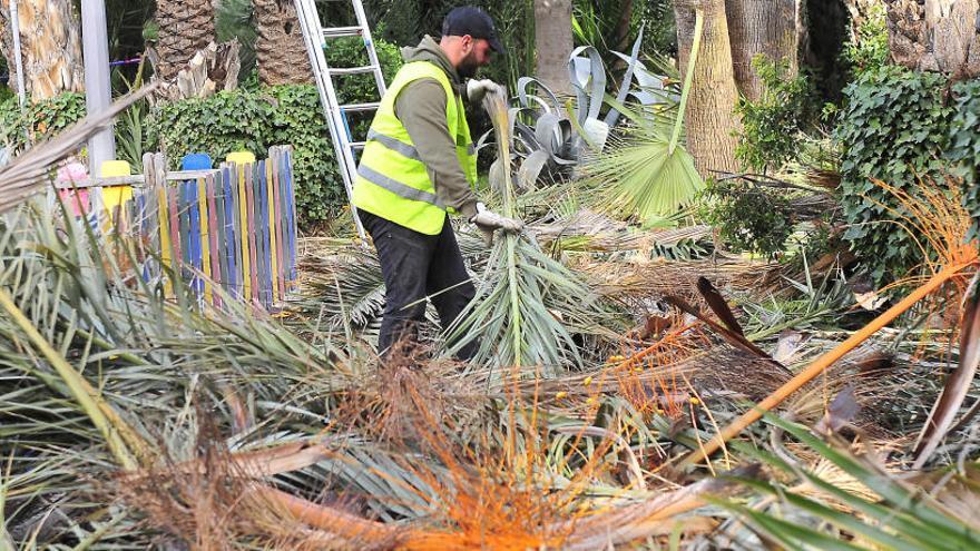 Más de 400 palmeras afectadas por picudo y paysandisia en medio año en Elche