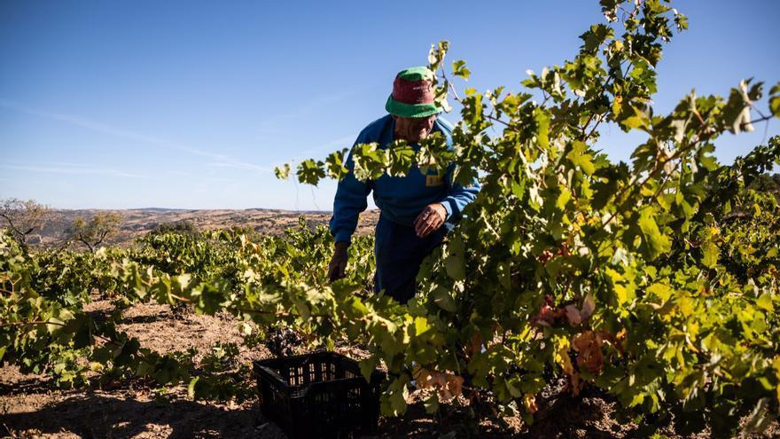 La vendimia rozará el millón de kilos de uvas en Los Arribes