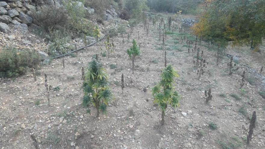 Desmantellen unes 2.900 plantes de marihuana amagades dins d'un un bosc de Fígols i Alinyà