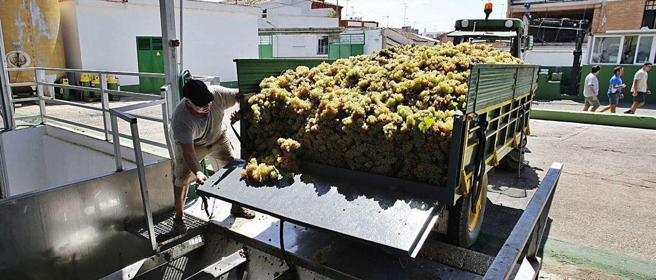 Un invierno cálido y lluvioso adelanta la vendimia en Turís pero no eleva la producción