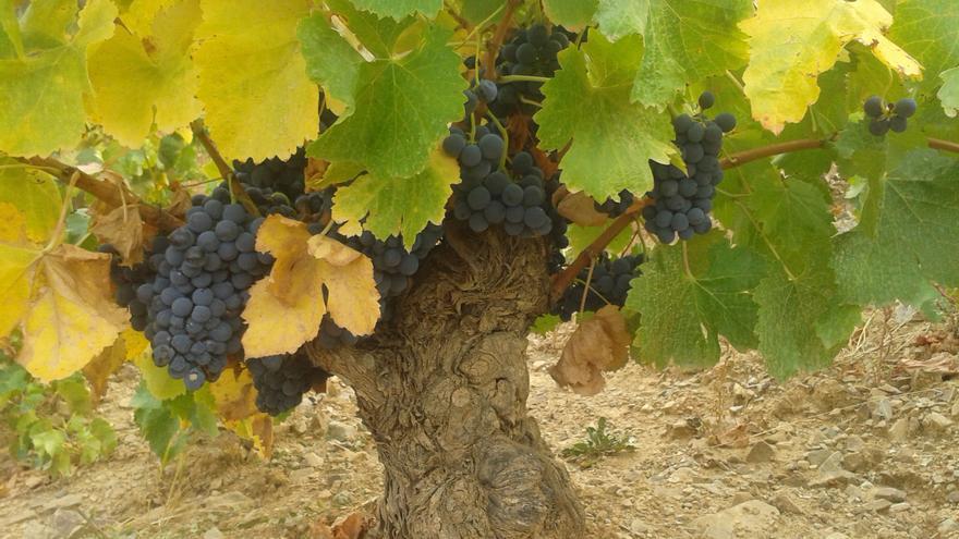 La Denominación de Origen Calatayud prevé recoger 12 millones de kilos de uva en la vendimia de este año