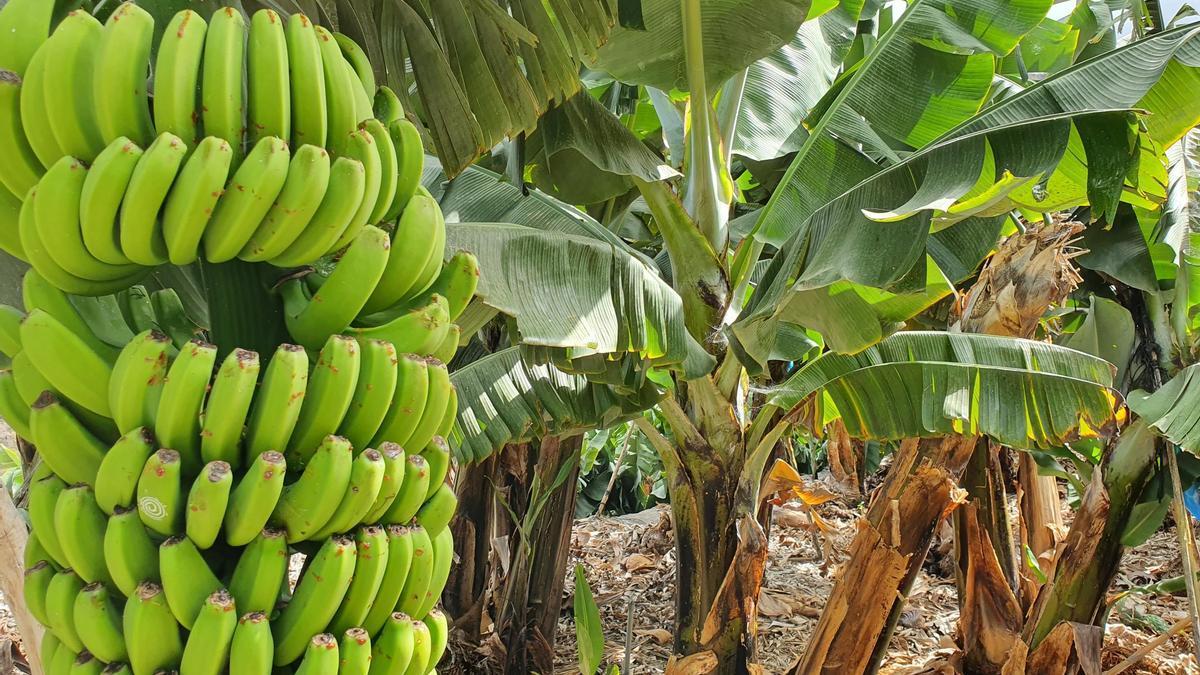 Una piña de plátanos en un cultivo de plataneras