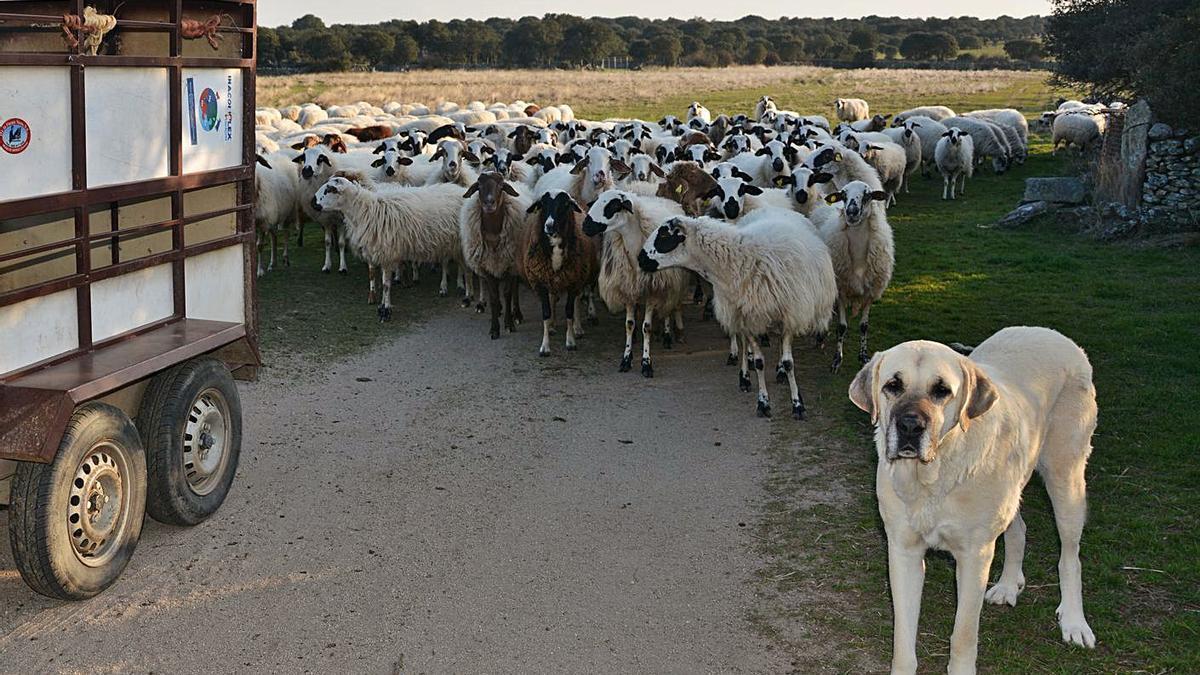 Un mastín junto al rebaño de ovejas que custodia en un pueblo de la provincia de Zamora. | L. O. Z.