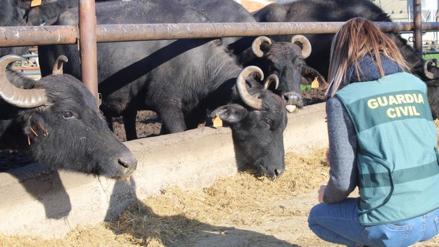 Denuncien un empresari empordanès que venia mozzarella de búfala fent servir llet de vaca