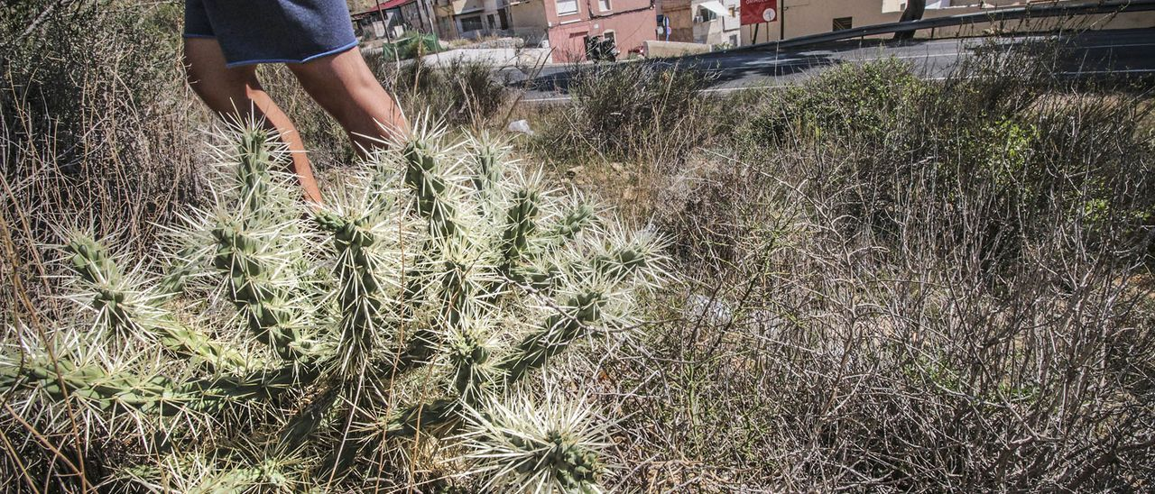 Imagen de cactus Arizona que se ha extendido a toda la Sierra de Orihuela desde los años 80