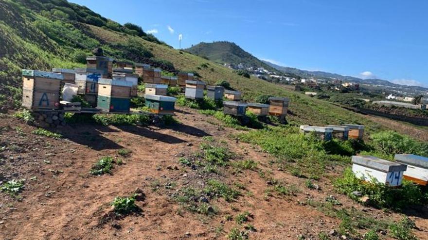 La ULPGC trabaja en tratamientos contra los ácaros de abeja