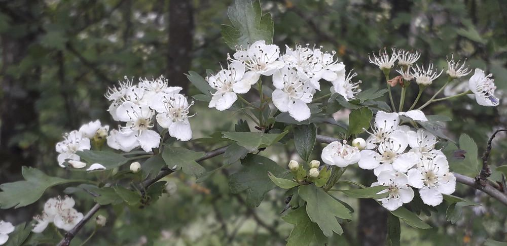 L'arç blanc inunda el bosc d'aroma.