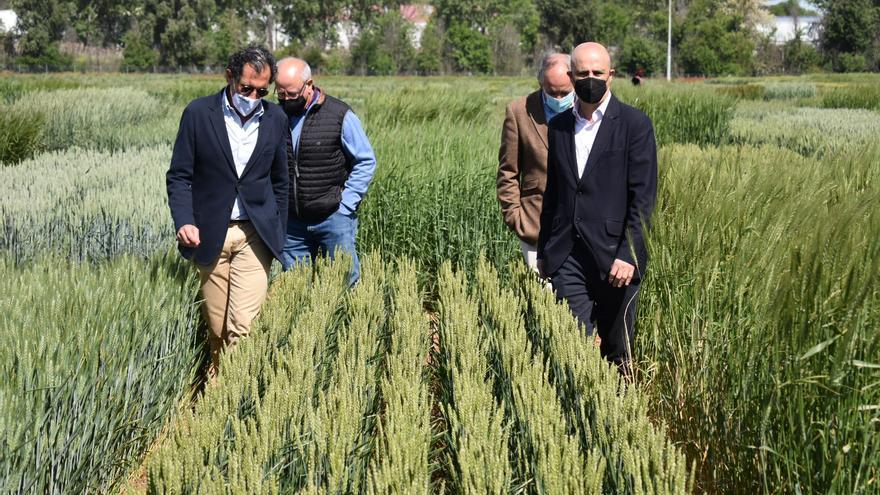 El Itacyl realiza ensayos con 22 variedades diferentes de trigo