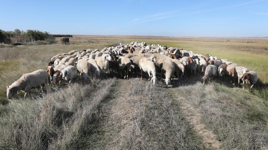 Las ovejas, las guardianas de las lagunas palentinas