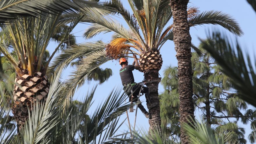 Elche saca a concurso un contrato para podar 8.000 palmeras de la vía pública