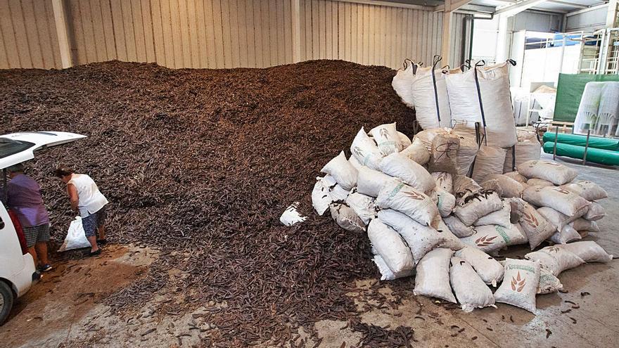La cosecha de algarroba aumenta un 50% en Ibiza tras dispararse su precio un 42%