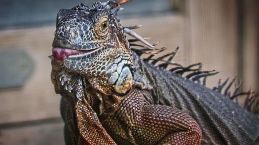 Una veïna de Manresa troba una iguana d'un metre i mig a la seva terrassa