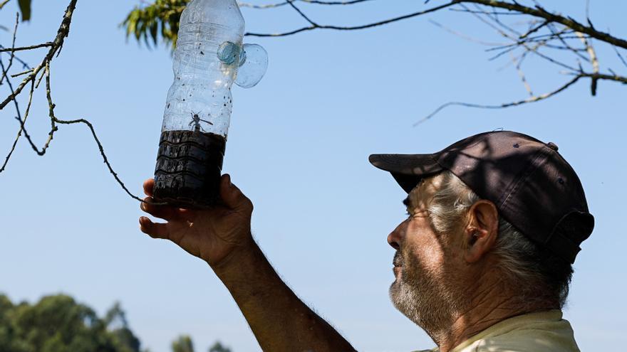 La avispa asiática frena su crecimiento exponencial en Asturias