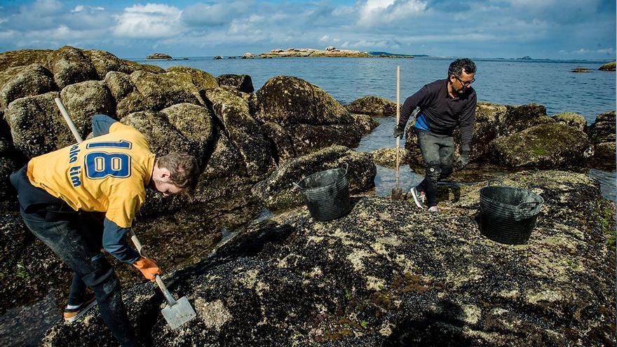 La cría que crece en las rocas del litoral, garantía de la calidad genética del mejillón