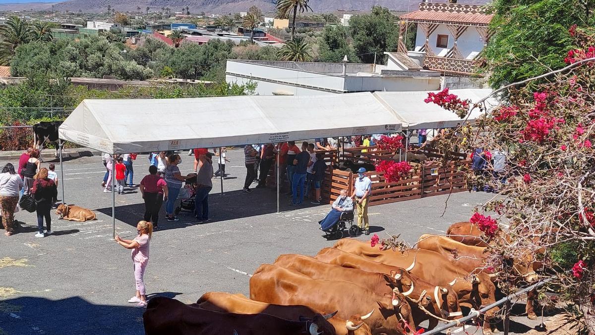 Feria de ganado en Ingenio