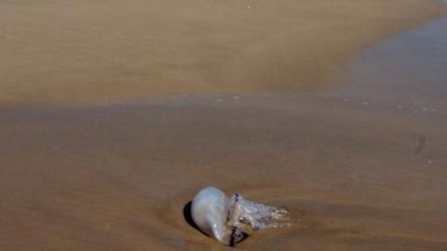 La presencia de medusas crece en las playas de la comarca