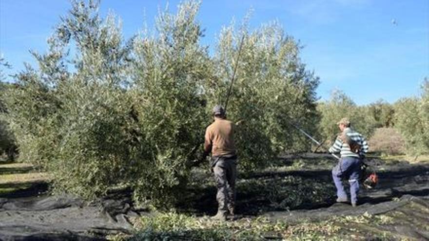 UPA muestra su «optimismo» por los precios que alcanza el aceite de oliva