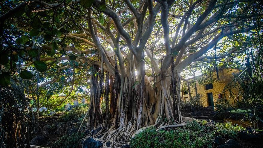 El Consistorio ultima el listado de árboles singulares para mejorar su protección
