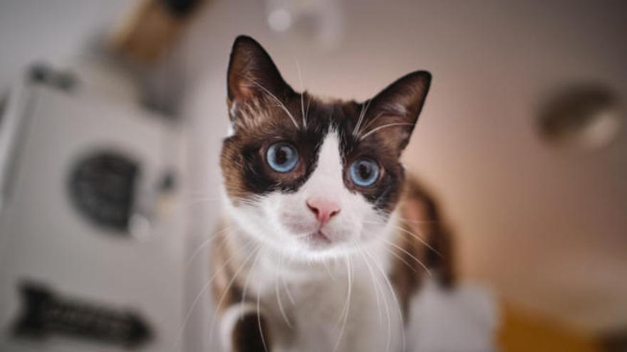 Gofio, el gato que dio una lección a los ayuntamientos de Canarias