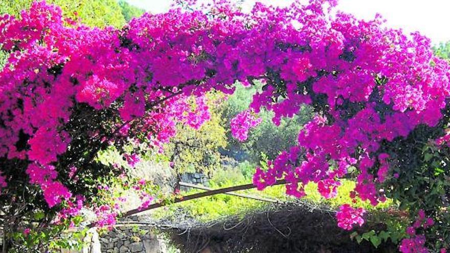Die farbige Kletterpflanze, die sich auf Mallorca auch über 40 Grad freut