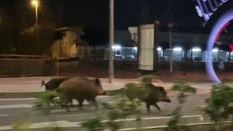 La manada de jabalíes trota por la avenida del Pla. | LEVANTE-EMV