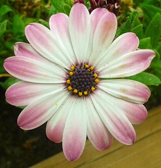 Dimorfoteca. Aquestes flors tenen una forma semblant a les margarides i diversos colors, com el blau, el groc i el púrpura. Les varietats de cultiu floreixen contínuament, sempre que es fertilitzin i es reguin sovint.