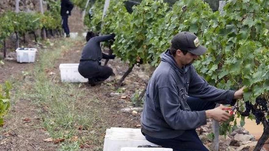 La DO Ribeira Sacra registra una cosecha histórica al superar los 7 millones de kilos