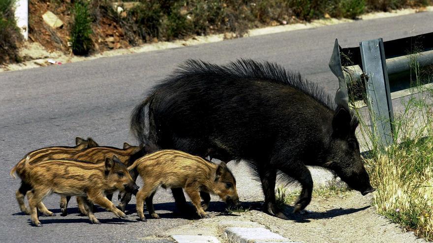A menos caza, más accidentes de tráfico con animales salvajes