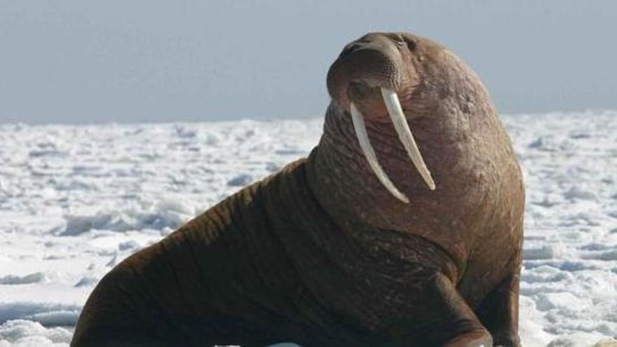 Una morsa se echa una siesta en el Ártico y acaba en Irlanda