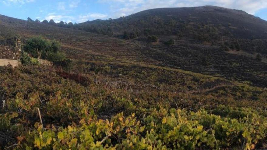 La vendimia se desploma con un 50% menos de uva por la sequía