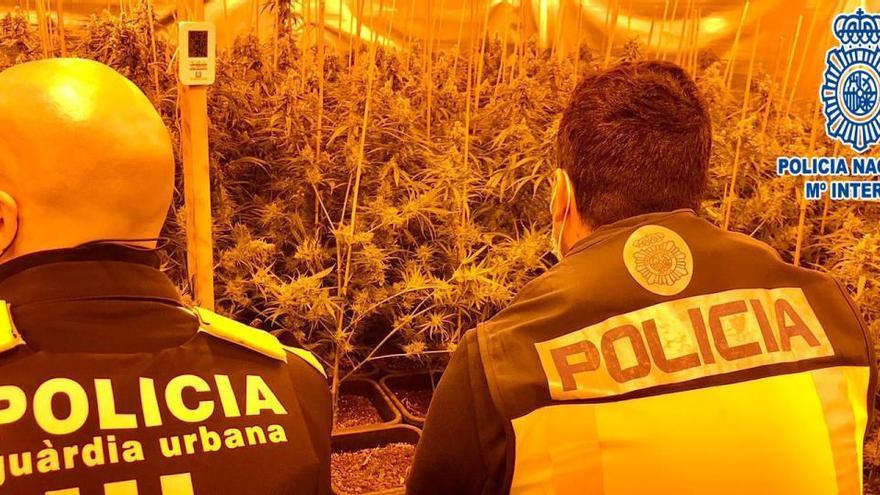 Desmantelado un cultivo con más de 2.400 plantas de marihuana en Barcelona