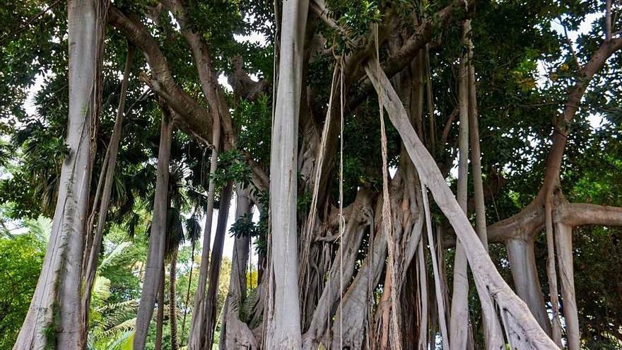 Un curso virtual mostrará los árboles singulares de Canarias