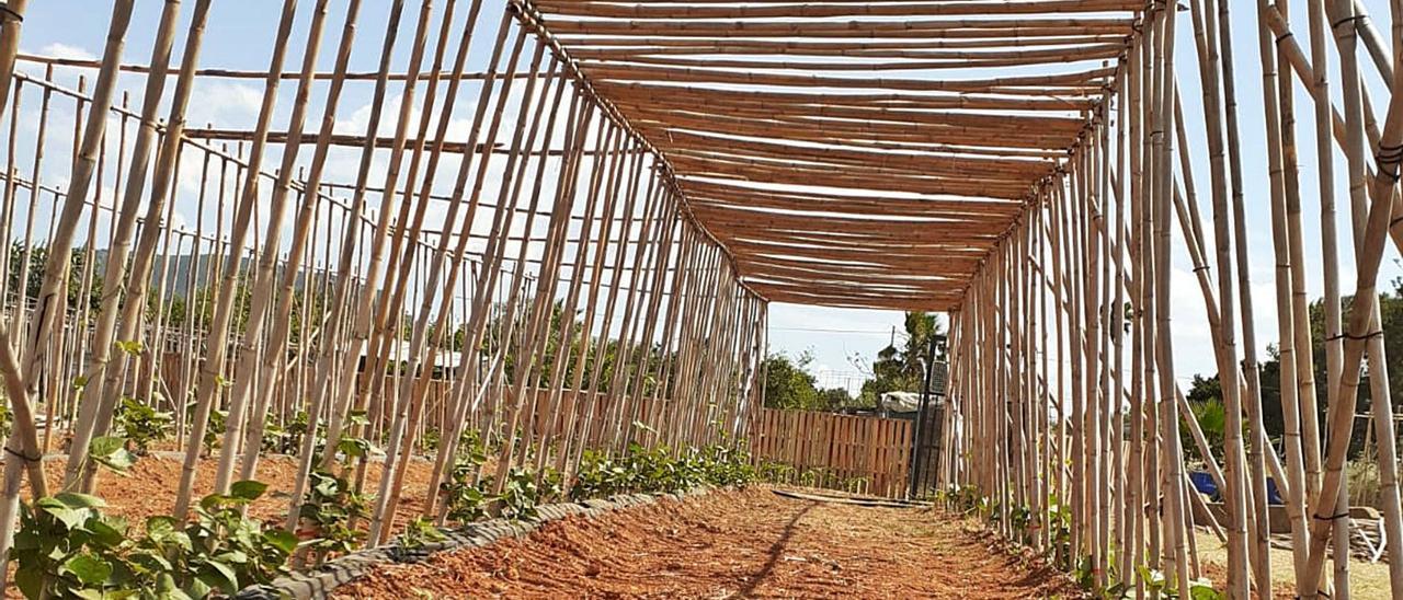 La producción del «garrofó» valenciano requiere de grandes cabañas de cañas y, por tanto, muchas horas de trabajo. | LEVANTE-EMV