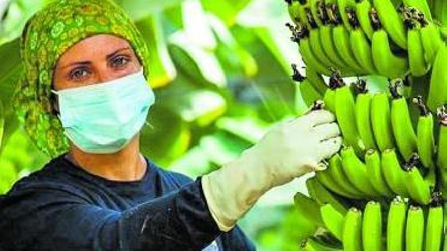 Trabajos en un invernadero de plátanos de las Islas.