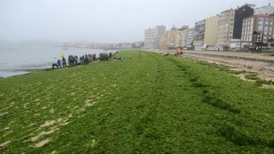 Carril llora la muerte del berberecho sobre un espectacular manto de algas