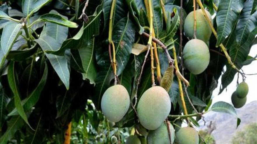 El mango de 'Chila', en tierra y dulce