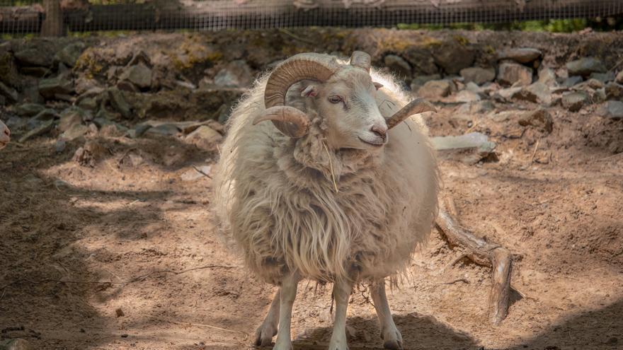 Detenido en La Palma por matar a golpes a un carnero y pedir a sus sobrinos menores de edad que lo grabasen
