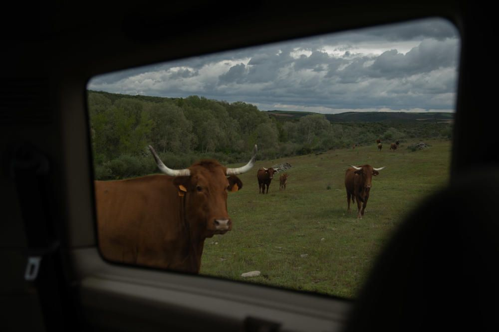 Las vacas vuelven a pastar en Almaraz.