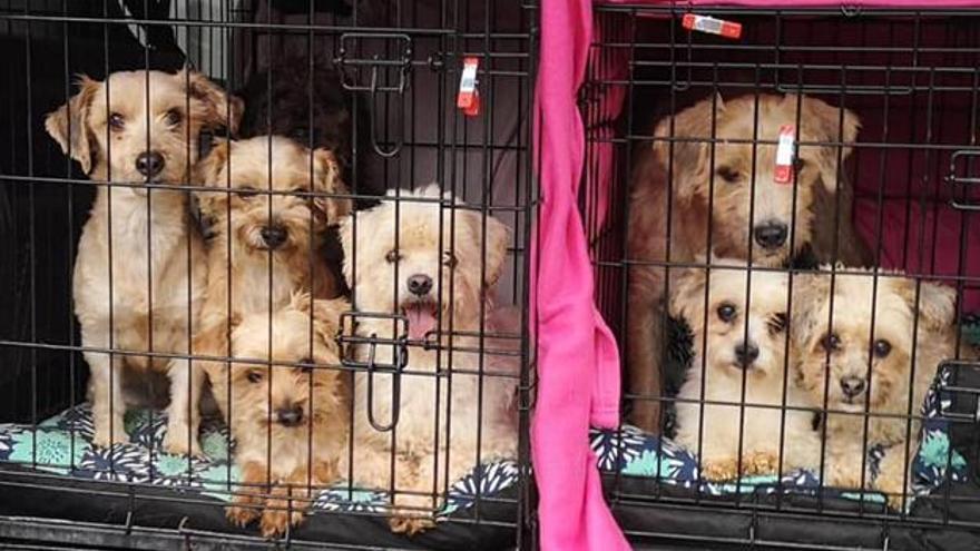 Rescatan a 37 perros y 19 gatos de un piso de Oviedo