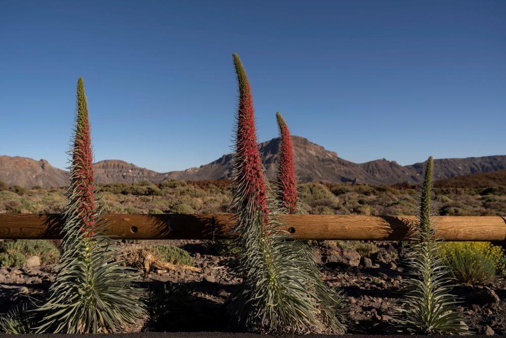 Tajinastes en flor en el Teide
