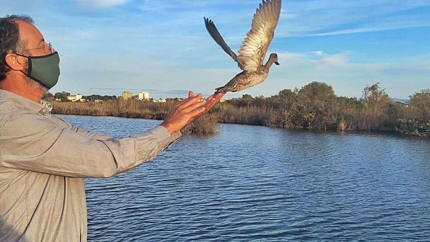 S'Albufera acoge una especie de pato en riesgo de extinción