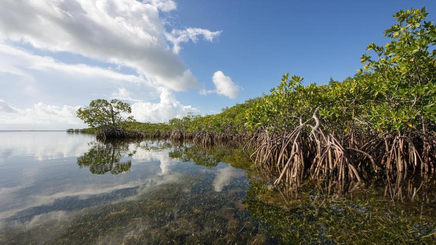 Los manglares desaparecerán en 2050 si no se reducen las emisiones contaminantes