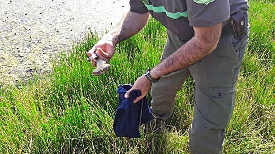 Denunciado un pescador furtivo con más de 40 ejemplares de rana común