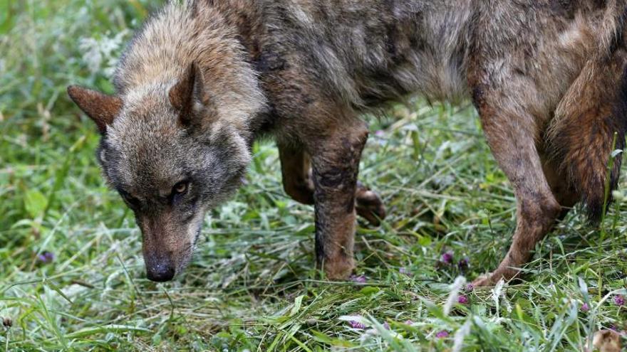 Registran domicilios y confiscan armas en relación con el fraude de los daños del lobo